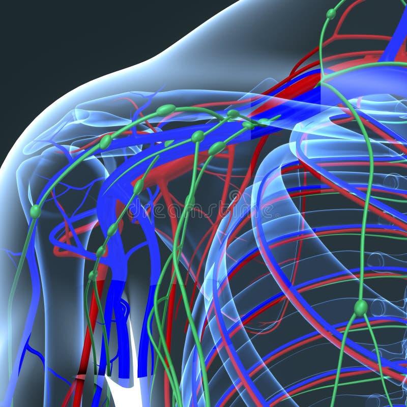 Bloedvat en Lymfeknopen met Skeletlichaam bij Schouder stock illustratie