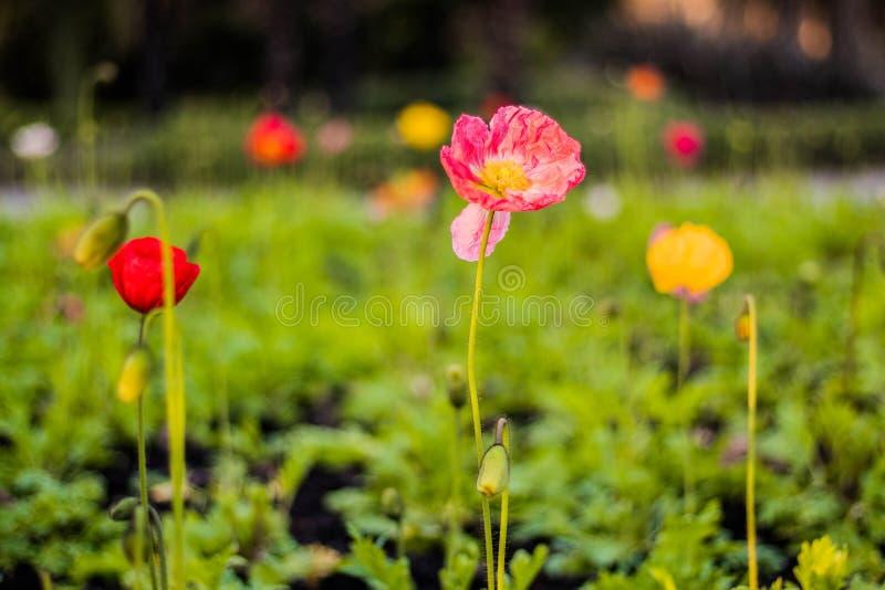 Bloei, bloem, papaver, botanische tuin, Christchurch stock foto's