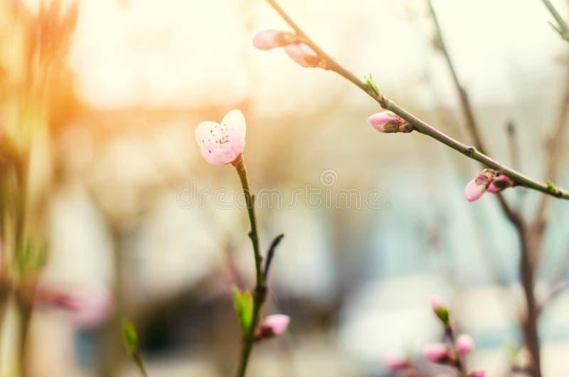 Bloei van bomen met een roze bloem, de komst van de lente, een zonnige dag, knoppen op een boom, aardbehang stock fotografie