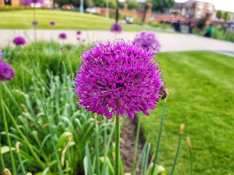 Bloei van de de lente de Purpere bloem stock foto