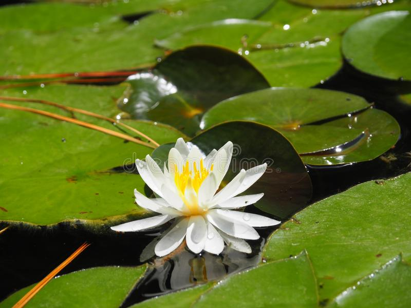 Bloei van wit Lotus stock afbeelding