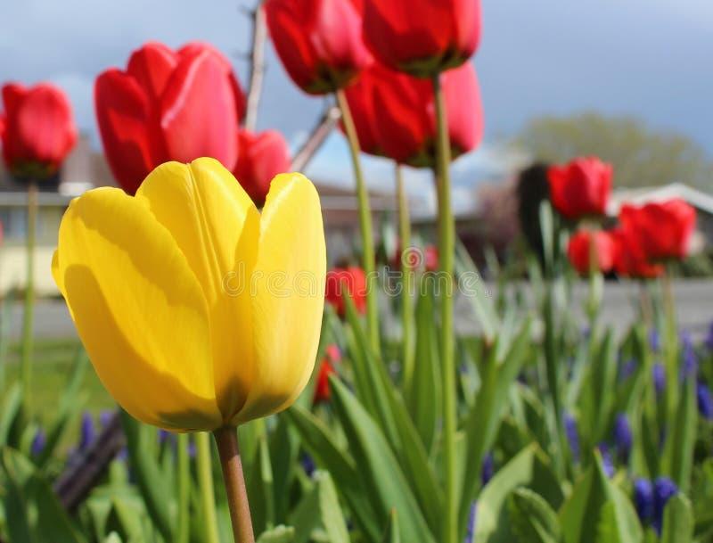 Bloeien de gele en rode tulpen in een de lentetuin stock afbeeldingen