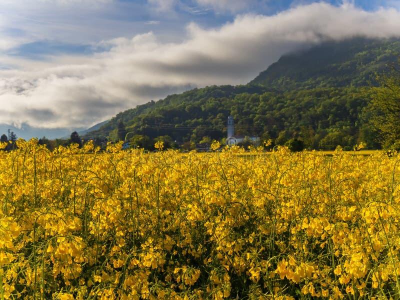 Bloeiend canolagebied in Pordenone, Italië stock afbeelding