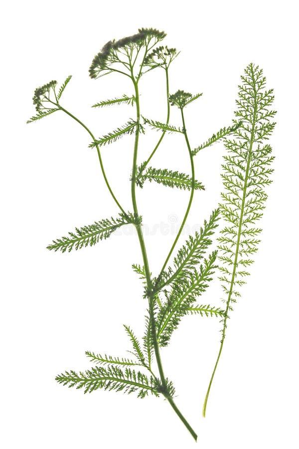 Bloeiend duizendblad (millefolium Achillea) royalty-vrije stock foto's