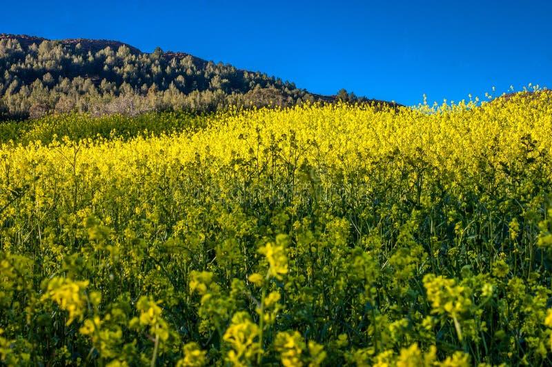 Bloeiend geel bloemengebied van mooi Zwitsers landschap stock afbeelding