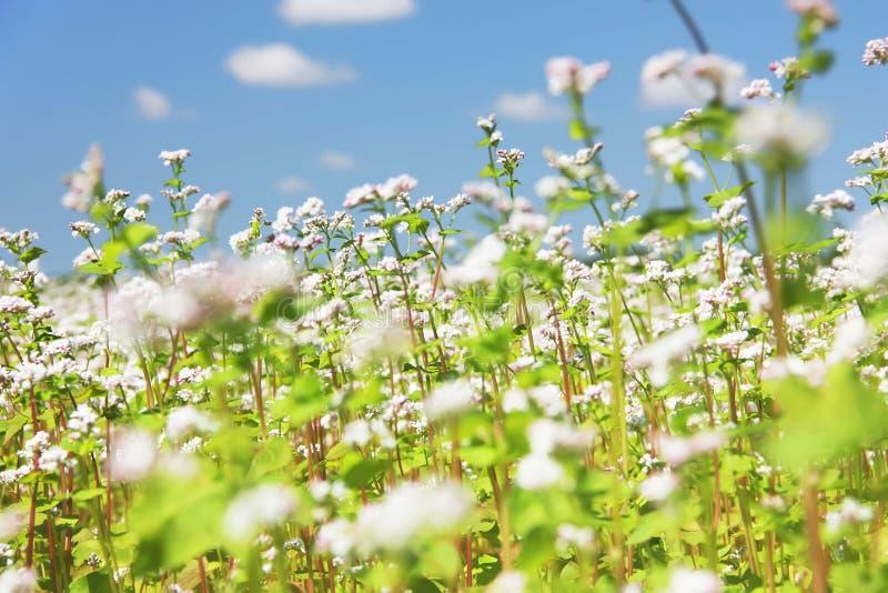 Bloeiend gemeenschappelijk boekweit Fagopyrum esculentum op een gebied Boekweitbloemen tegen een blauwe hemel stock afbeelding