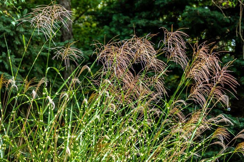 Bloeiend Gestreept Gras stock afbeeldingen