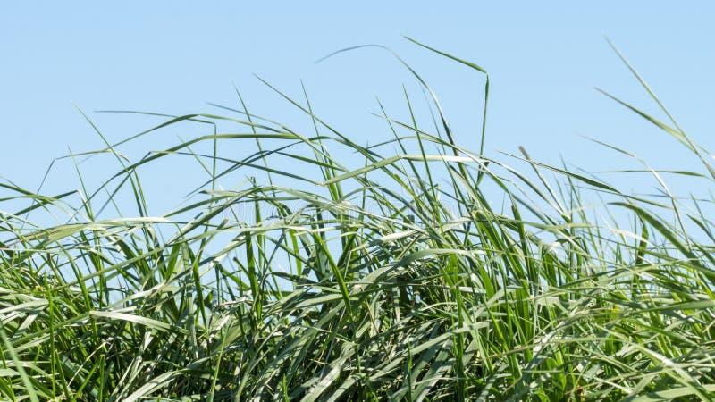Bloeiend gras in detail - allergenen royalty-vrije stock afbeeldingen