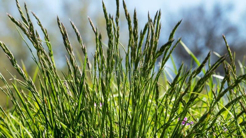 Bloeiend gras in detail - allergenen stock foto