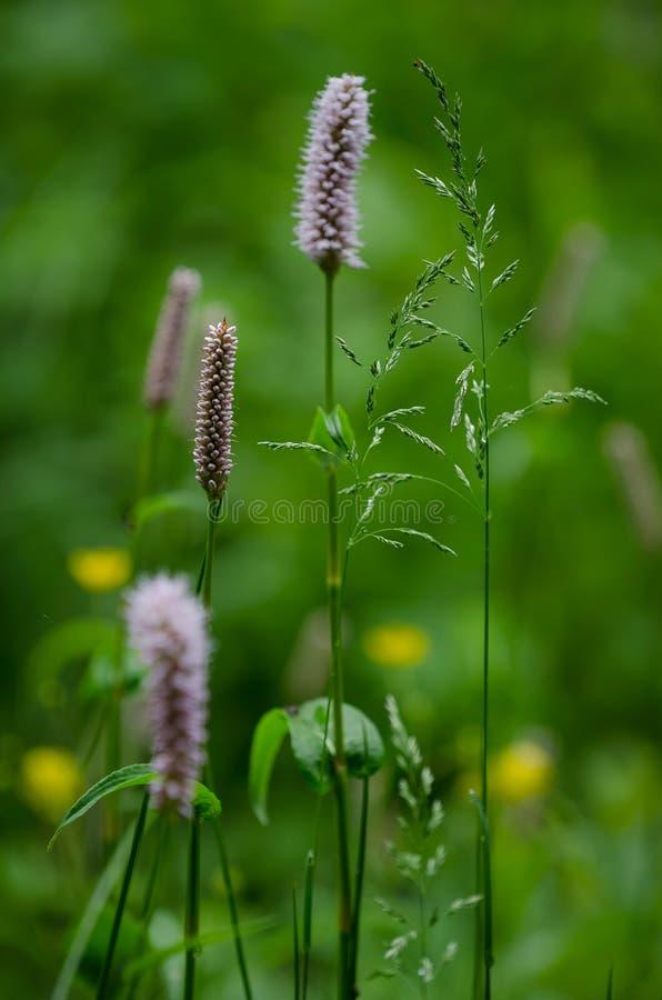 Bloeiend gras (Poaceae) stock foto