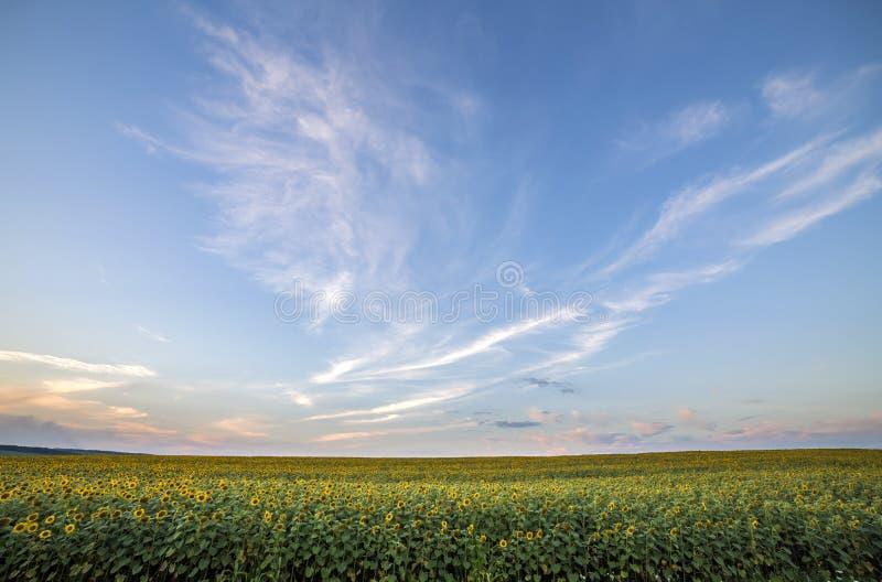 Bloeiend helder geel rijp zonnebloemengebied Landbouw, olieproductie, schoonheid van aardconcept stock foto's