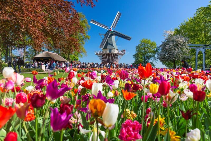 Bloeiend kleurrijk tulpenbloembed in openbare bloemtuin met windmolen Populaire toeristenplaats Lisse, Holland, Nederland stock fotografie