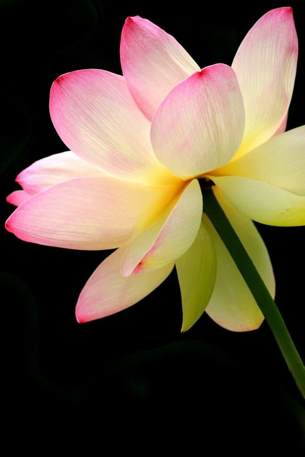 Bloeiend Lotus stock foto's