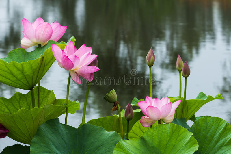 Bloeiend Lotus royalty-vrije stock foto