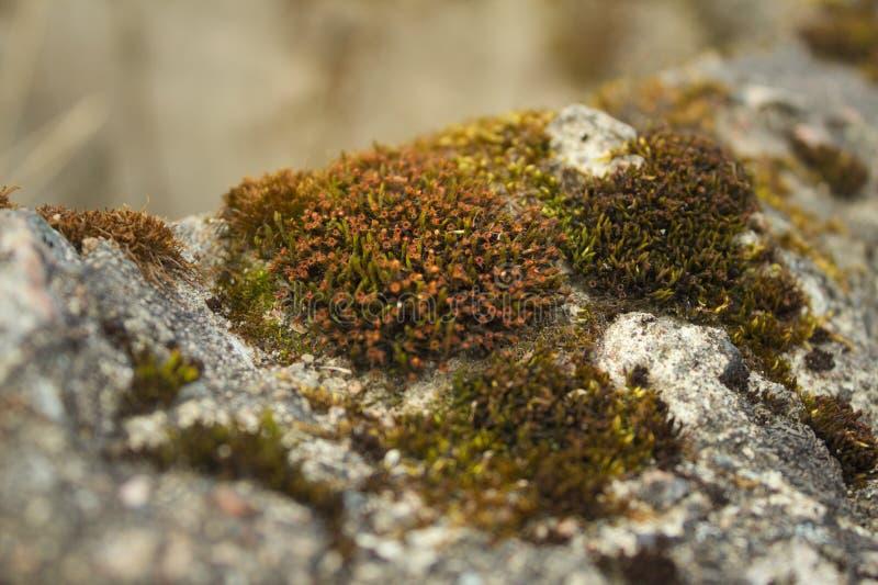 Bloeiend mos stock foto's