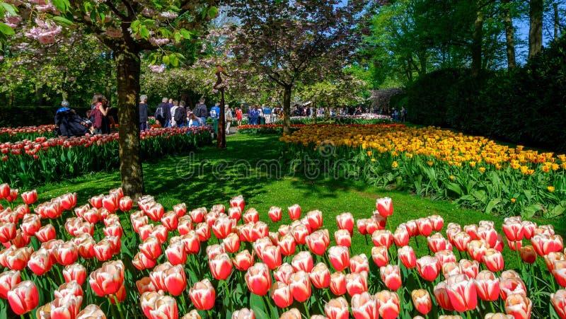 Bloeiend tulpenbloembed in bloemtuin Keukenhof, kleurrijke achtergrond, Holland stock afbeeldingen