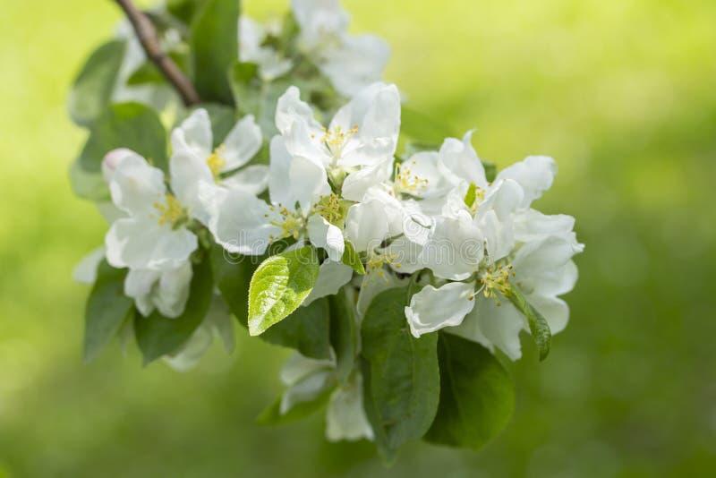 Bloeiend van de takappel groen gras als achtergrond De witte bloemblaadjes van de bloemenappel, de bomen van het tuinfruit zijn b stock afbeelding