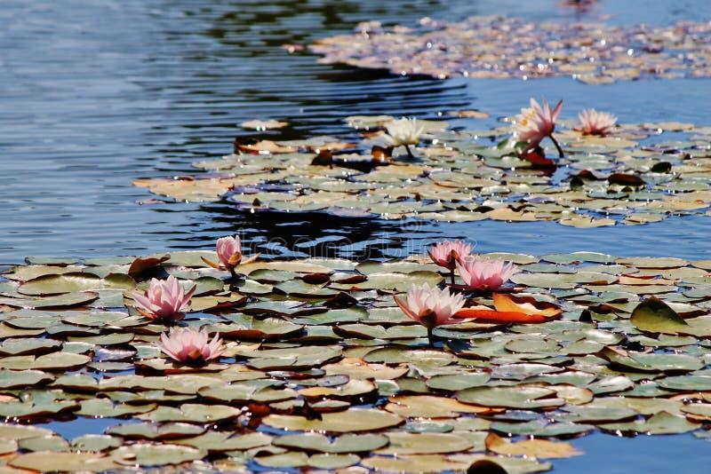 Bloeiend water royalty-vrije stock afbeeldingen