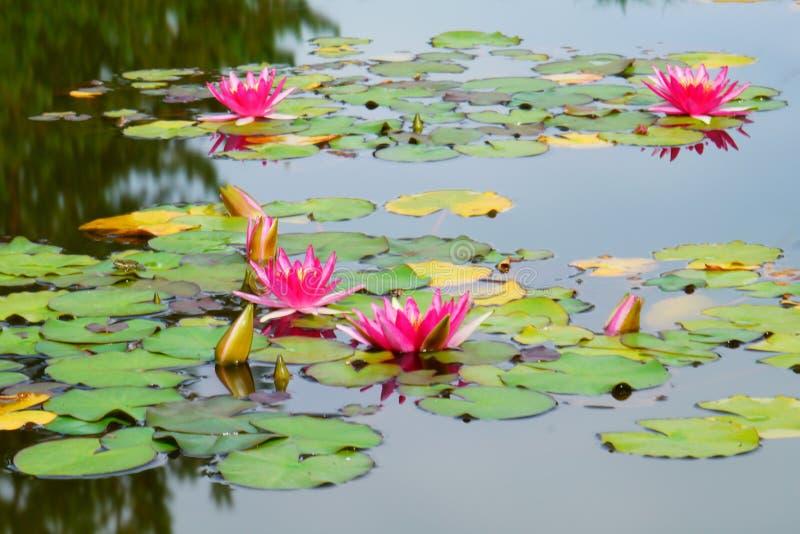 Bloeiend Water Lillies stock foto's