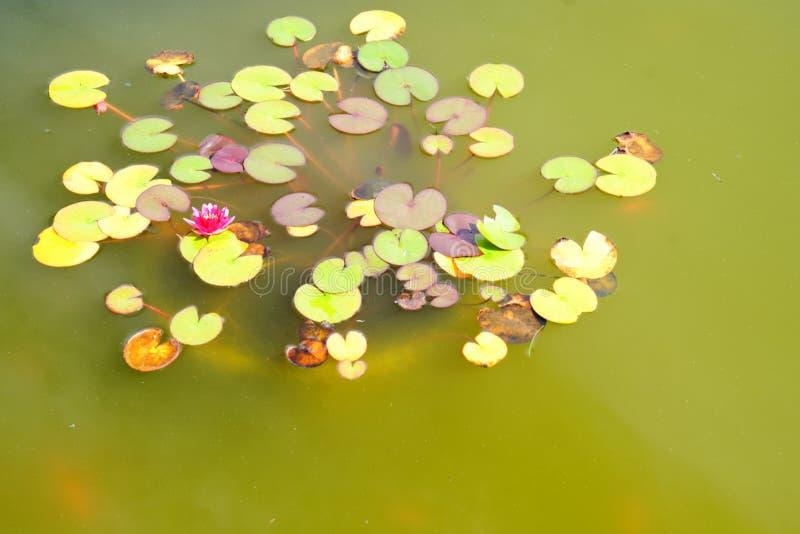 Bloeiend Water Lillies stock afbeeldingen