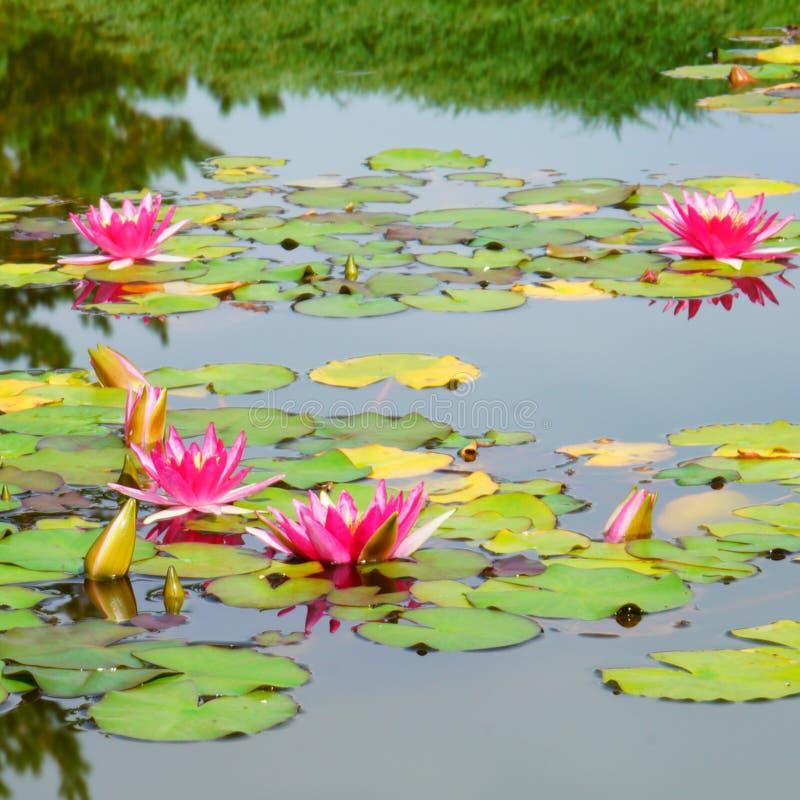 Bloeiend Water Lillies royalty-vrije stock afbeelding