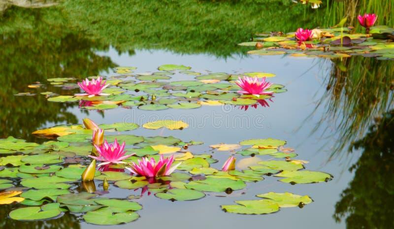 Bloeiend Water Lillies royalty-vrije stock afbeeldingen