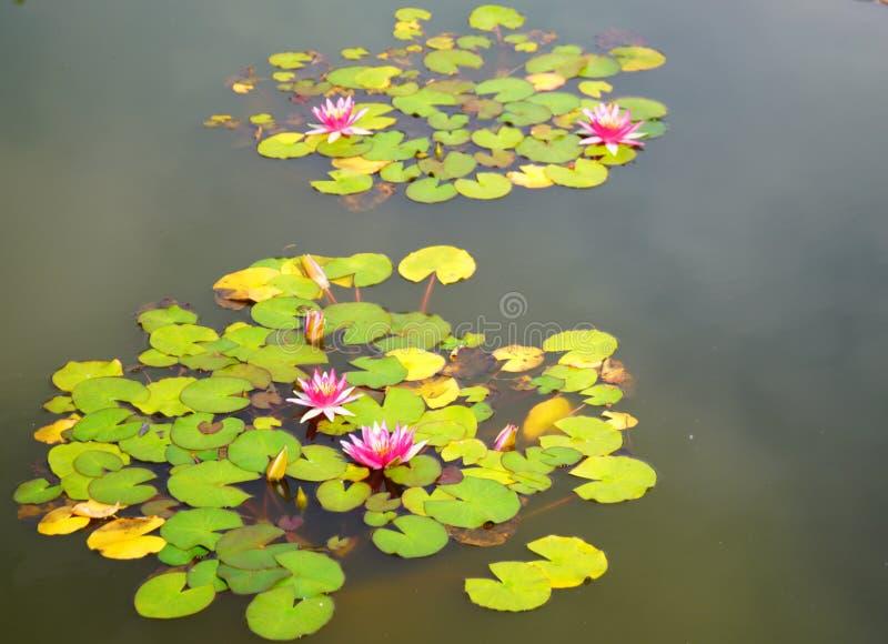 Bloeiend Water Lillies royalty-vrije stock foto's