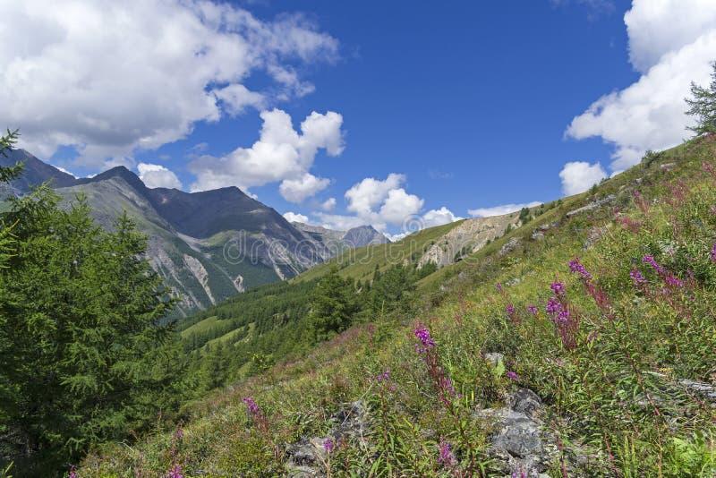 Bloeiend wilgeroosje op de berghelling De Bergen van Altai, Rusland stock afbeelding