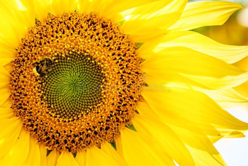 Bloeiend zonnebloemgebied in het zonlicht met Hommel stock afbeeldingen