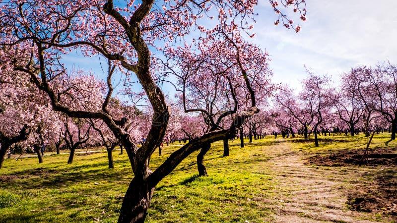 Bloeiende amandelbomen met roze bloemen in Madrid in de lente stock afbeelding