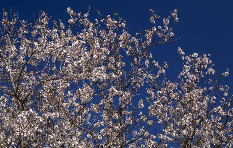Bloeiende amandelenachtergrond stock foto's