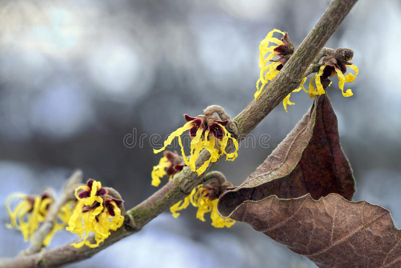 Bloeiende Amerikaanse toverhazelaartak in de winter, gele bloemen van med stock fotografie