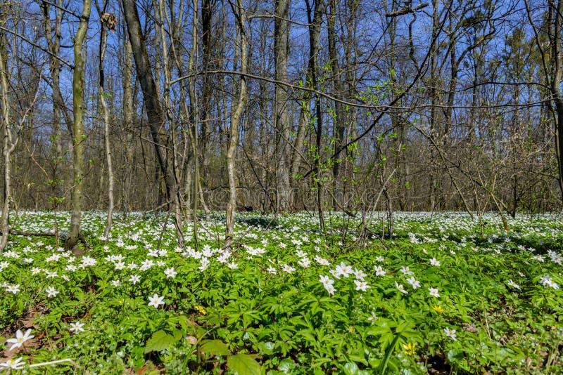 Bloeiende anemonen in het vroege de lentebos stock fotografie
