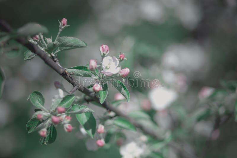 Bloeiende aplle tak met roze bloesems stock foto