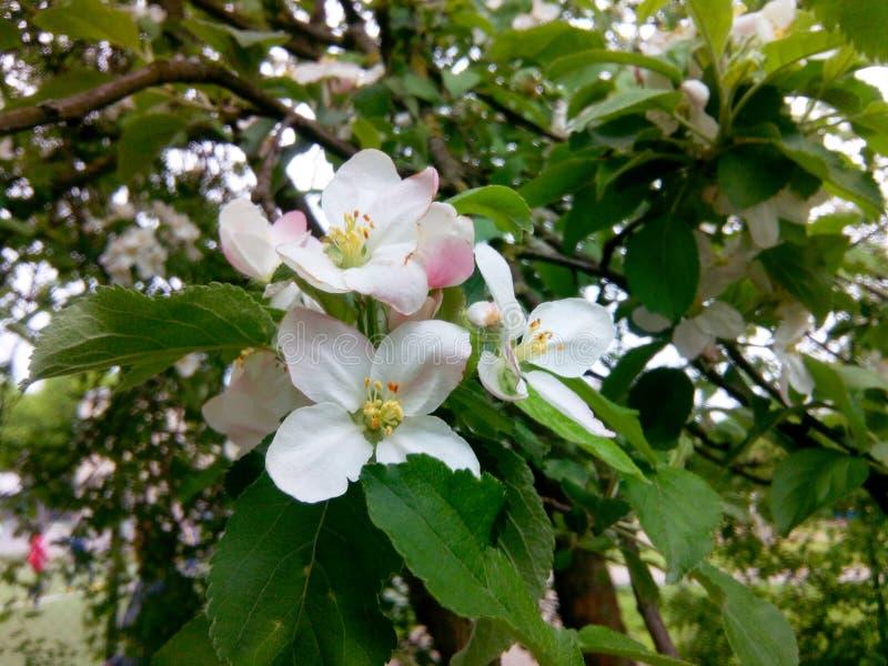 Bloeiende appel stock afbeelding
