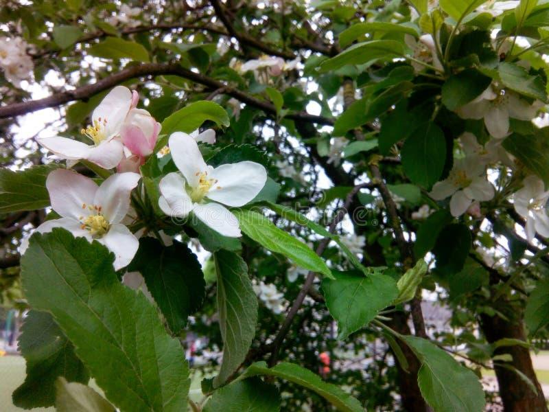 Bloeiende appel stock fotografie