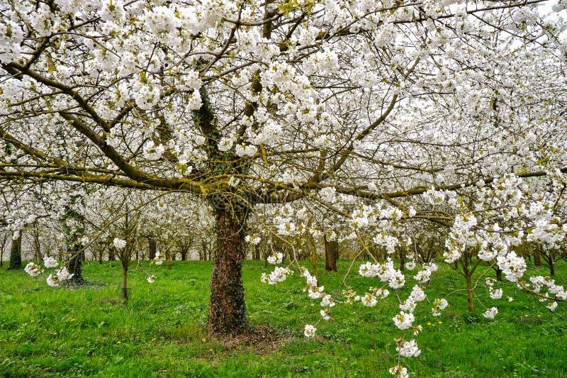 Bloeiende appelbomen, groene weide stock afbeelding