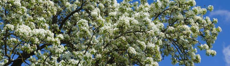 Bloeiende appelboom royalty-vrije stock fotografie