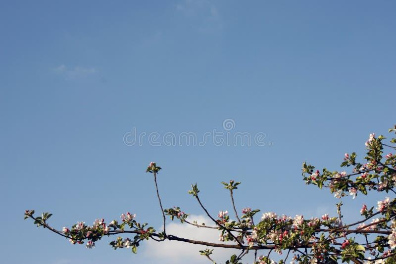 Bloeiende appelboom in de lente - de close-up schoot tegen blauwe hemel, exemplaarruimte royalty-vrije stock afbeeldingen
