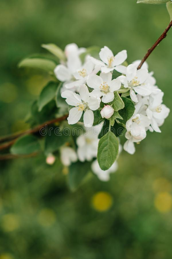 Bloeiende appelboom in de tuin royalty-vrije stock afbeelding
