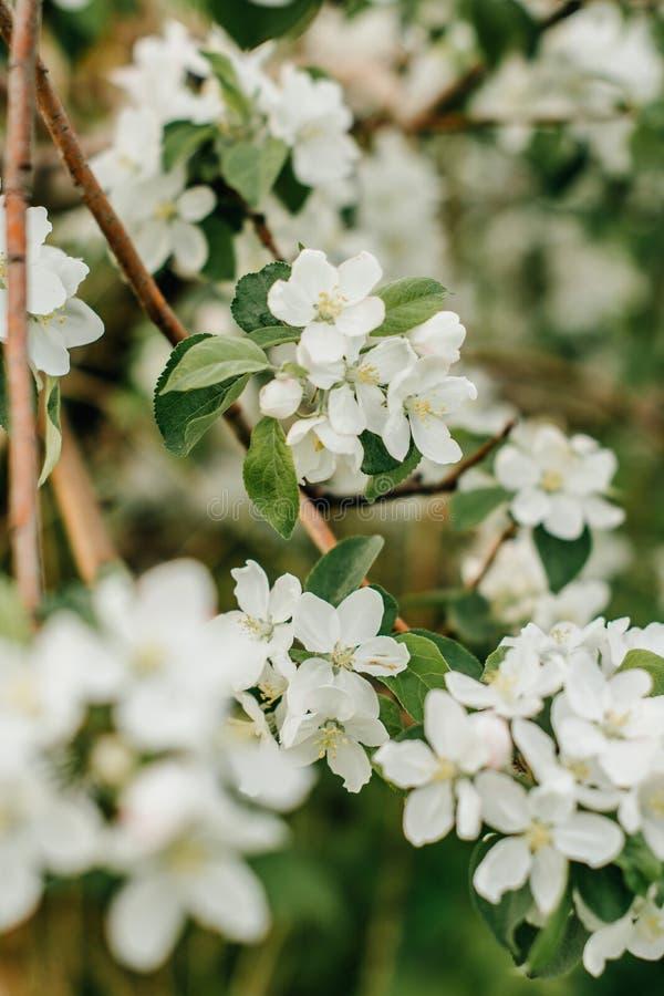 Bloeiende appelboom in de tuin stock fotografie