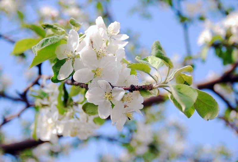 Bloeiende appelboom in een zonnige dag. stock foto