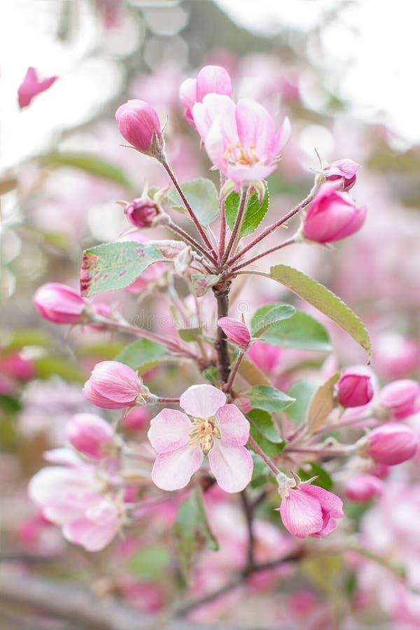 Bloeiende appelboom op de lente Het bloeien Crabapple in het park Close-up van roze tot bloei komende takken Achtergrond met bloe stock afbeeldingen