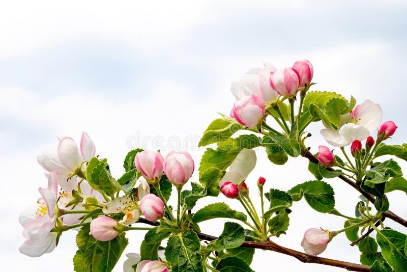 Bloeiende appelboom tegen de hemel royalty-vrije stock fotografie