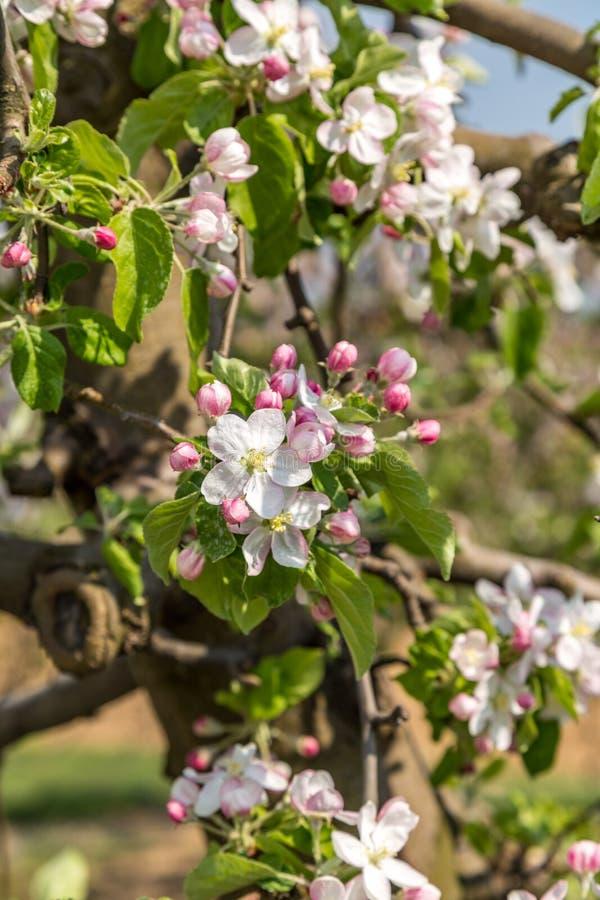 Bloeiende appelboomgaard royalty-vrije stock foto