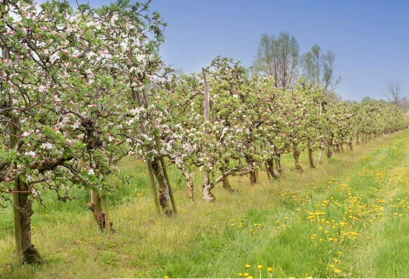 Bloeiende appelboomgaard stock fotografie