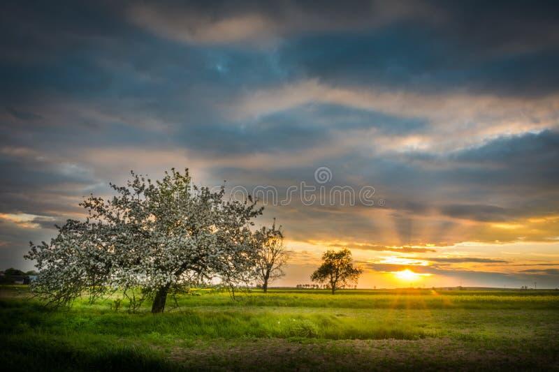 Bloeiende appelboomgaard in Polen stock foto's