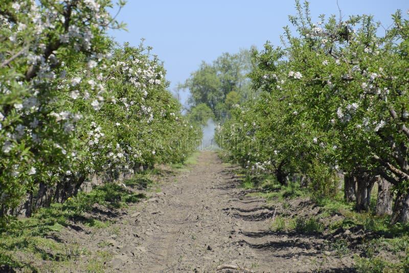 Bloeiende appelboomgaard Volwassen bomenbloei in de appelboomgaard Fruittuin royalty-vrije stock foto