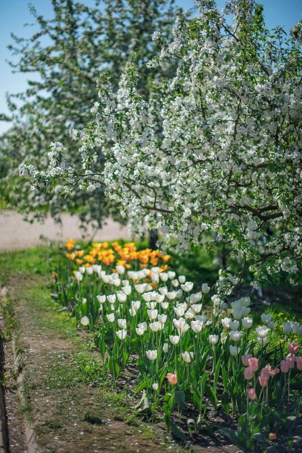 Bloeiende Apple-bomen over rijen van oranje, witte en roze tulpen op een Zonnige dag stock afbeeldingen