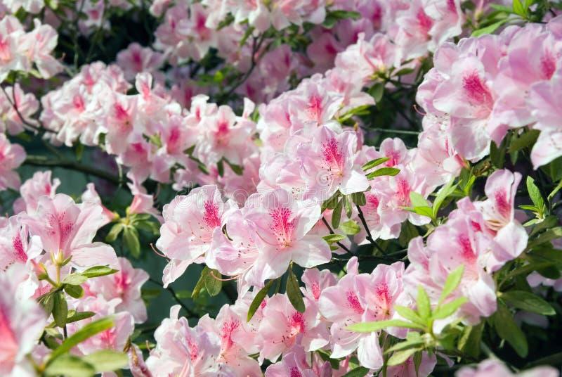 Bloeiende Azalea royalty-vrije stock foto